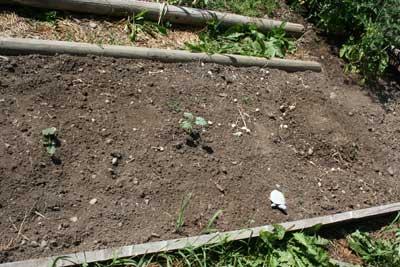 Delicata-squash-and-pumpkin-late-july-garden
