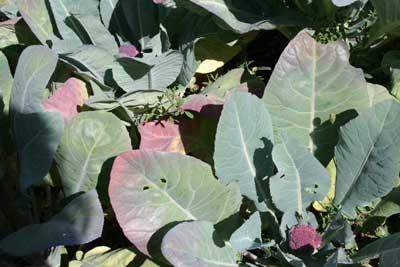 Purple-cauliflower-heads-late-july-garden